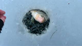 Подлещ плотва судак густера на гирлянду Ловля на гирлянду Лучшая рыбалка этого зимнего сезона