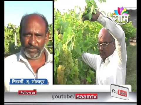 Agrowon: Grape Festival arranged by Dharmarao Birajdar at Nimbargi, Solapur
