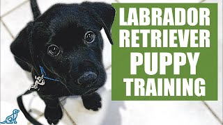 Labrador Retriever Puppy Training Guide - First Week Puppy Training❤️