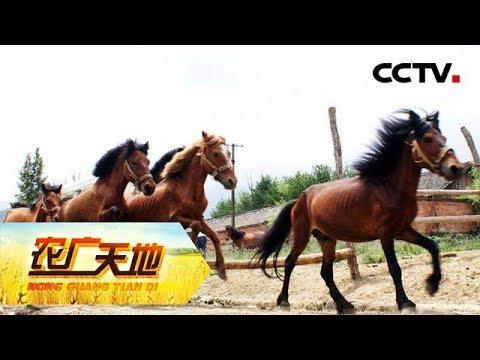 《农广天地》 20171205 宁强马 | CCTV军事