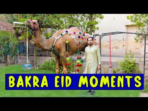 Download Bakra eid moments l Peshori vines