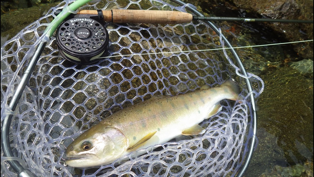 How to catch yamame landlocked cherry salmon on fly for Fly fishing clubs