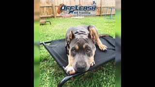 4.5MO OLD PIT BULL 'T'CHALLA', 2 WEEK BOARD AND TRAIN PROGRAM