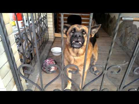 Ну очень злой пес 1)) Well, very angry dog