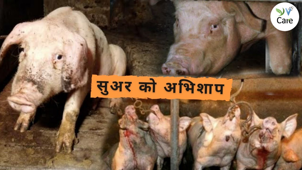सुअर को अभिशाप। A Curse on Pigs #shorts