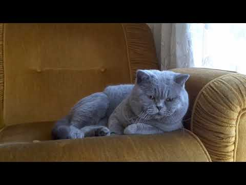 Funny Corall * cattery Calmcat - British Shorthair Cats
