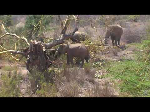 Eles find the fallen tree on Africa River cam. 19 March 2017