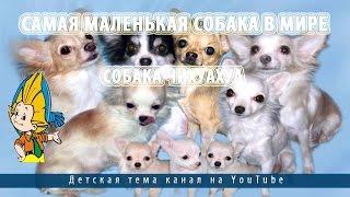 Самая маленькая собака в мире.Собака чихуахуа
