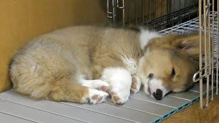 Roku Sleeping / アルミボードの上で寝るロクさん 20150715 Welsh Corgi Puppy 子犬