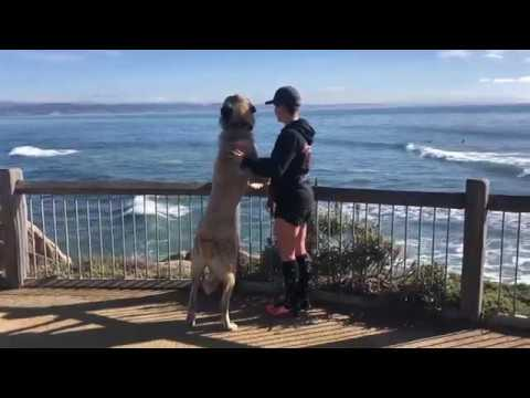 Anatolian Shepherd | Jakoby | Two Week Board & Train