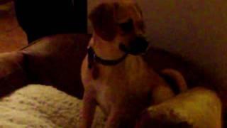 Puggle Vs. Beagle / Schnauzer Mix