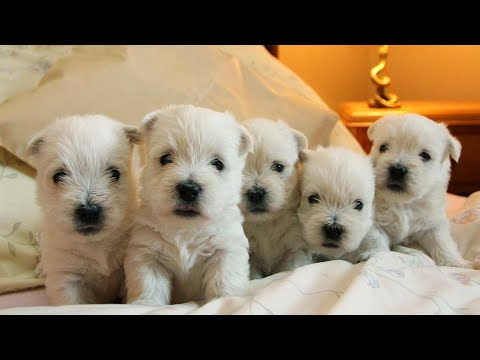 Funny Puppies Videos Compilation 2016 HD