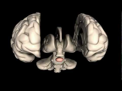 What is the Pituitary Gland?