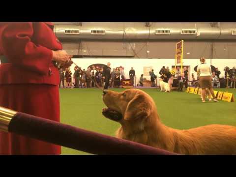 Golden Retriever Waiting For A Treat - Westminster Dog Show