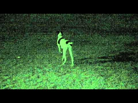 German Shorthaired Pointer Hunting Rabbits