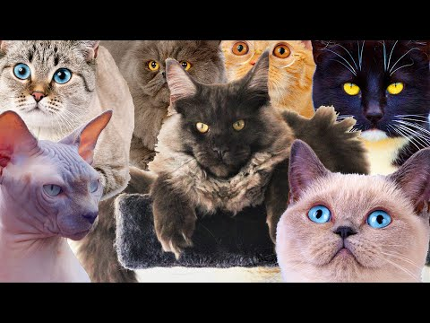 10 Cat Breeds You Would Love To Know About