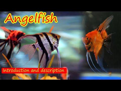Angelfish   এঞ্জেল ফিস   Pterophyllum   Introduction And Description   পরিচিতি ও বর্ণনা