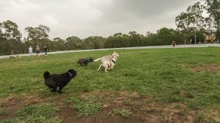 Spencers first time at the dog park with other dogs