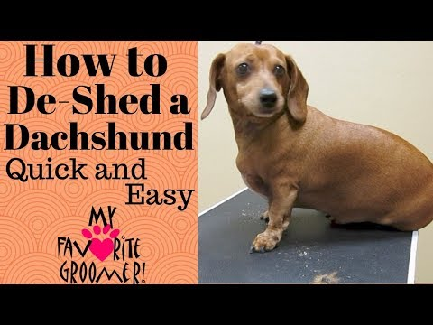 How to De-Shed a Dachshund