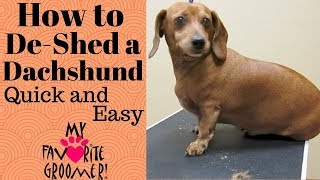 How to De-Shed a Dachshund thumbnail