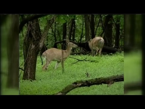 Ways to avoid collisions with deer