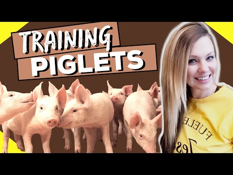 Training Piglets To Electric Fence // Installing Electric Fence For Pigs (STEP BY STEP)