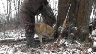 Охота на норку с лайкой