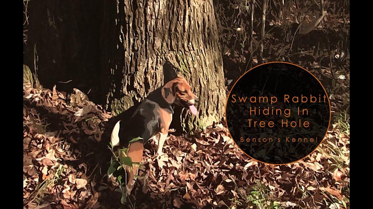 Swamp Rabbit Hiding In Tree Hole   Benson's Kennel