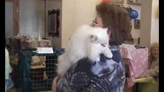 Персидский кот шиншилла - Persian chinchilla - выставка кошек PCA