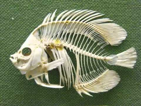 Fish skeleton youtube for Fish without bones