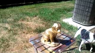 Toy Fox Terrier Attacks Statue