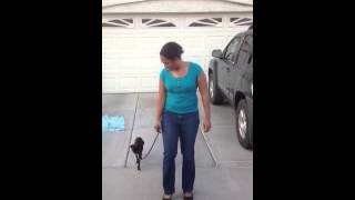 """Teaching the """"wait"""" command! -----K9katelynn top dog trainer in cave creek,AZ helps out Ramsey..."""