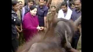 Elephant hits Jayalalitha at Mudumalai