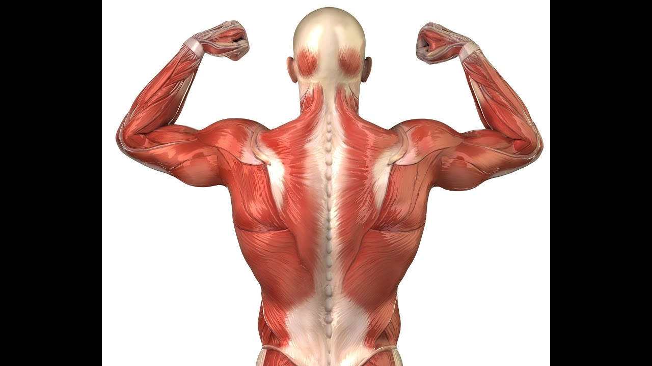 Muscle Shape Attachments And Potential Youtube