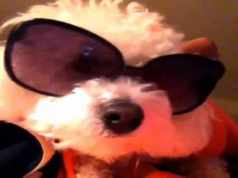 **-how-to-train-your-bichon-frise-puppy-**-cool!!