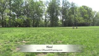 """5-month Old German Shepherd """"raina:"""" German Shepherd Training In Northern Virginia"""