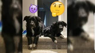 Male vs Female Border Collie  Which One Should You Get?