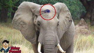Gajah Ini Dengan Tenang Meminta Tolong Meskipun Tengkorak Kepalanya...