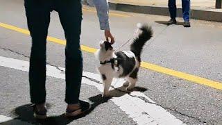 퇴근하는 집사를 마중 나오는 고양이