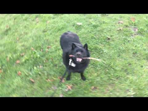 Schipperke throws down an upside down chew