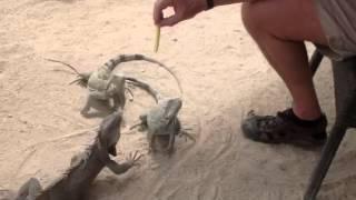 Iguana training 101