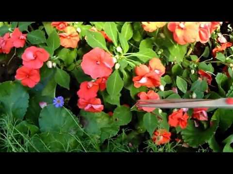 Как размножить бальзамин Укоренение черенков бальзамина