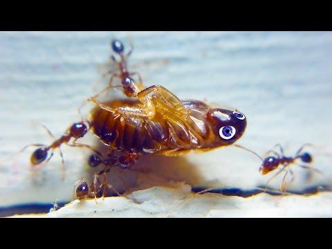 The Ants Were Jealous of His Beautiful Blue Eyes - Macro 4K Ultra HD