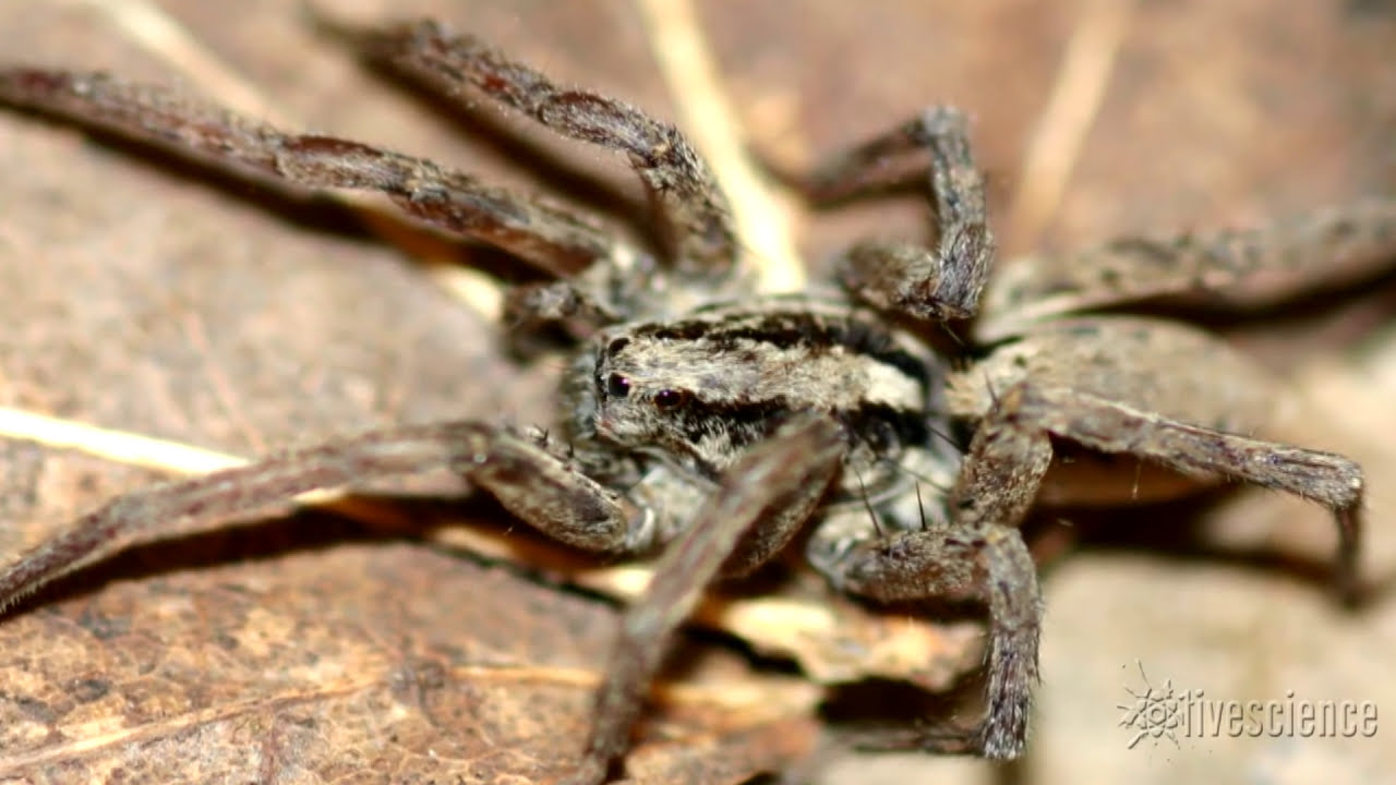 Spider's Creepy Mating 'Purr' Recorded by Researchers | Video