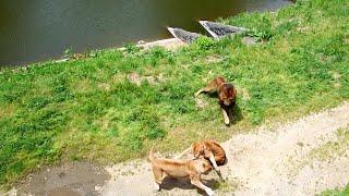 多摩動物公園(ライオン) 最後の大暴れ