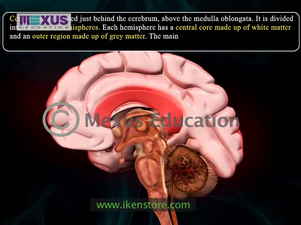 Human Brain Animation Learn Anatomy Of Human Bra Youtube