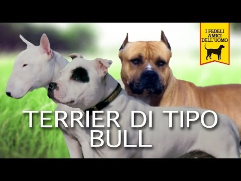 TERRIER DI TIPO BULL Trailer Documentario