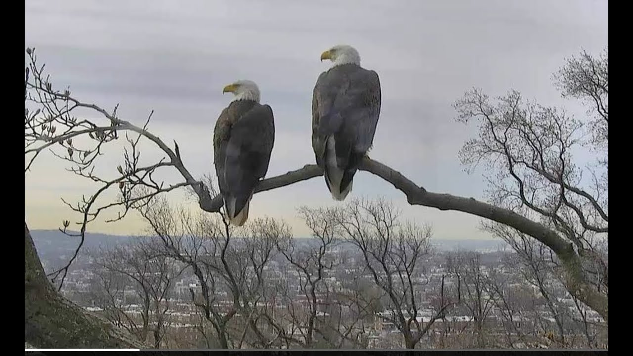 3fa708154 National Arboretum Bald Eagle Nest Cam