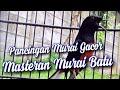 Masteran Murai Batu Gilla Pancing Mubatmu  Mp3 - Mp4 Download