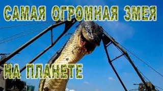 самая длинная змея в мире -  сетчатый питон - самая большая змея -  #интересно #топ 10